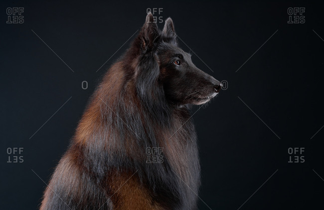 Profile of a Belgian Tervuren dog