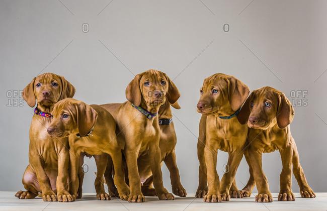 Litter of Vizsla puppies