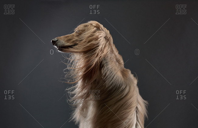Fur of an Afghan Hound blowing in wind