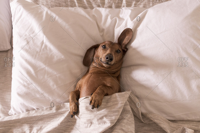 Dachshund lying in a person's bed