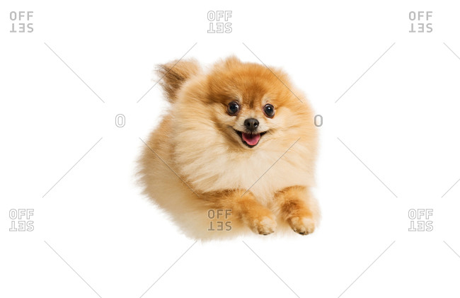 Pomeranian dog leaping through the air