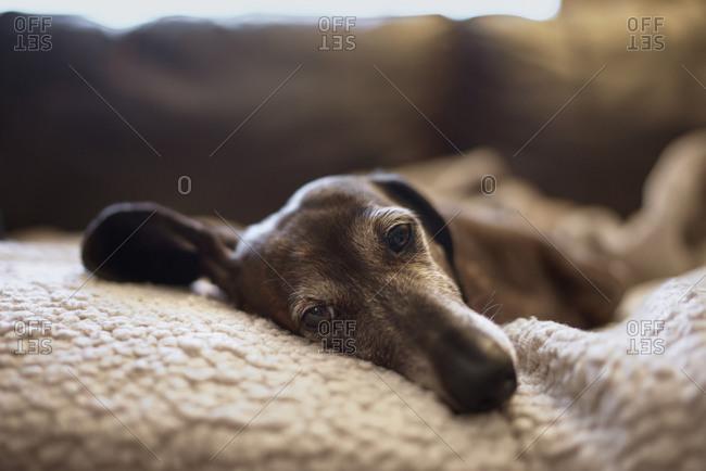 Older dog resting
