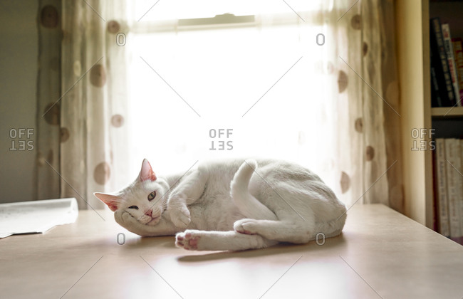 White cat lying on a table