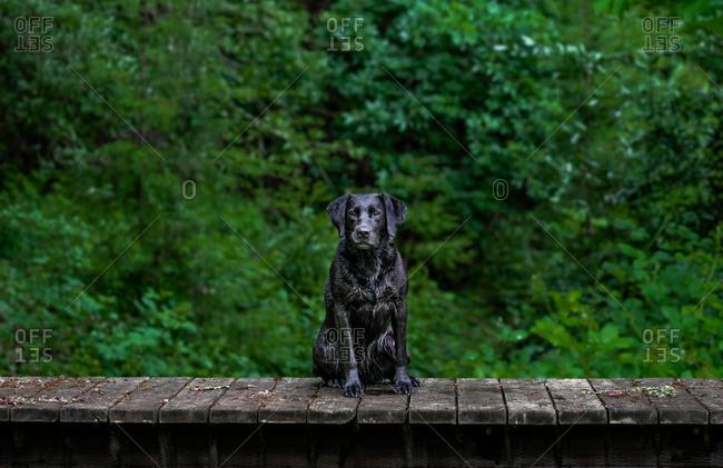Wet black Labrador Retriever sitting on a dock