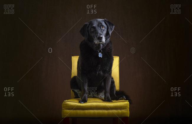 Portrait of an elderly Labrador Retriever