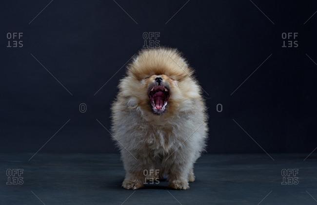 Pomeranian dog yawning
