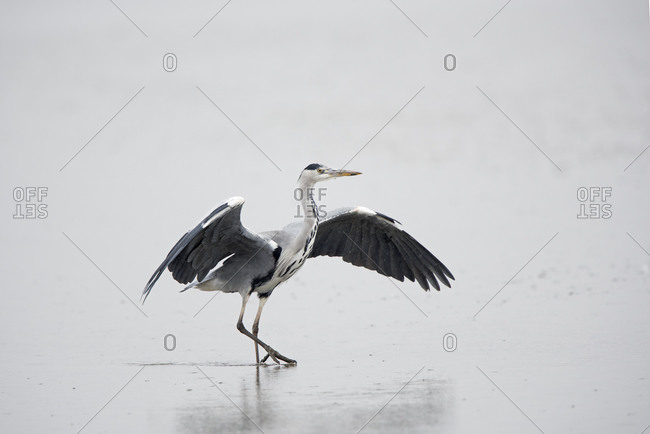 Grey Heron standing with wings spread in the pouring rain