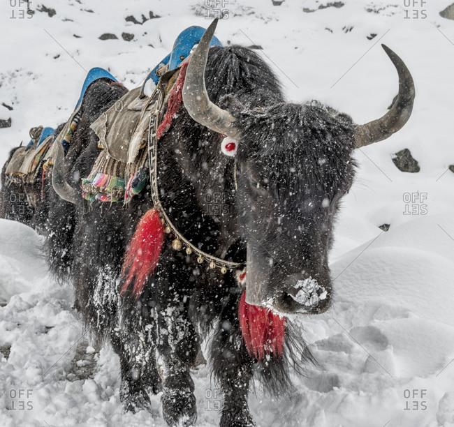Yaks in snowfall