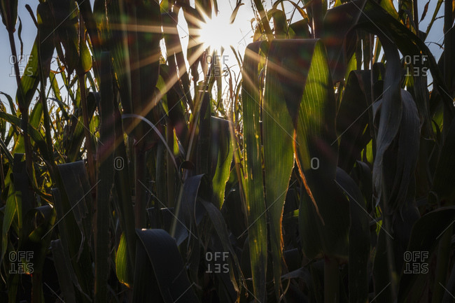 Maize plants on a field at backlight