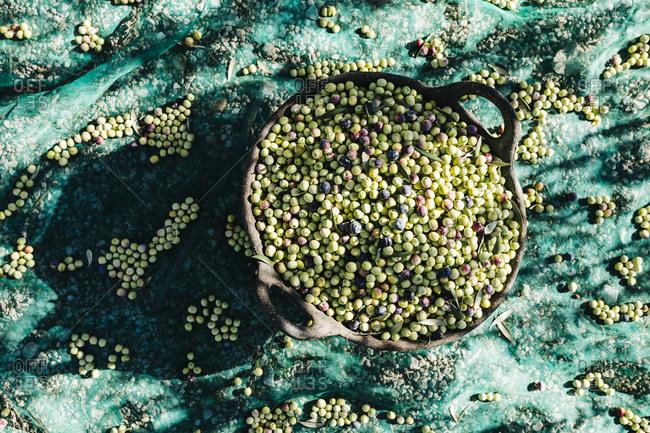 Basket of harvested olives on tarp
