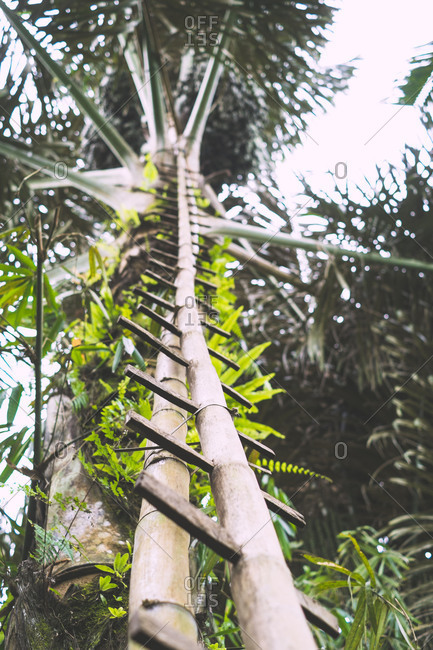 Bali, Indonesia - August 17, 2014: Ladder made from bamboo leans against a palm tree in Bali, Indonesia