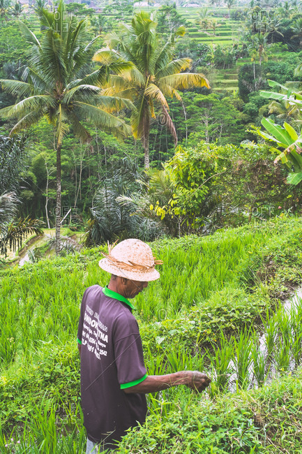 Ubud, Bali, Indonesia - August 17, 2014: Farmer tends to his rice crops