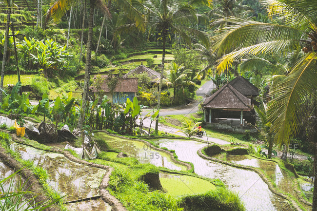 Rice terraces in Ubud, Bali, Indonesia