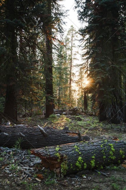 Logs and trees in a sunlit forest