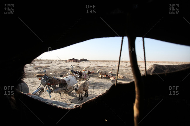Sheep outside a tent in south Iran desert