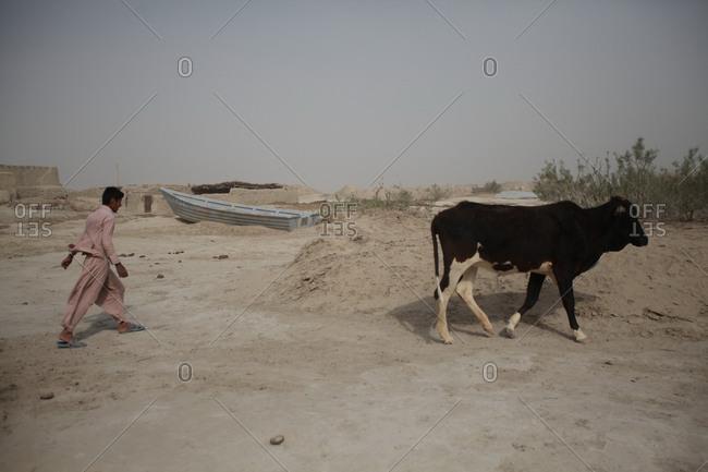 Zabol, Iran - May 2, 2014: Young man walking a cow in south Iran