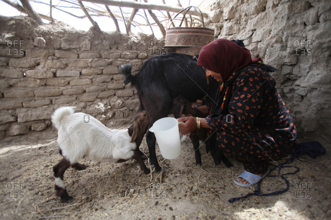 A woman milking her goat in a village in south Iran