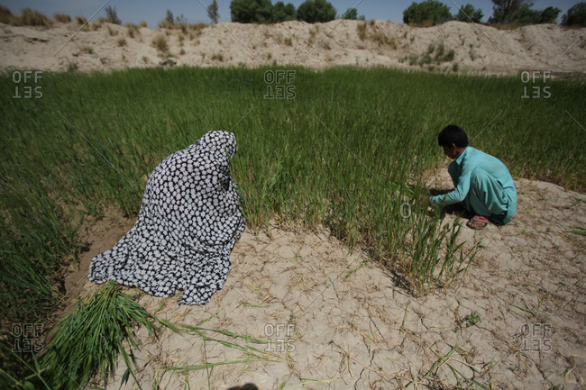 Zabol, Iran - May 4, 2014:  Farmers picking tall grass on the field