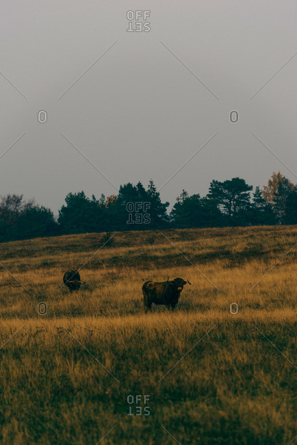 Cows in Swedish field
