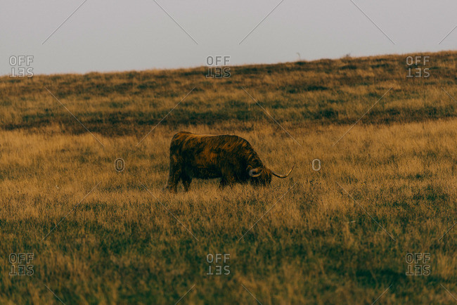 Cow in Swedish field