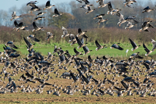 Flock of pink footed geese taking flight