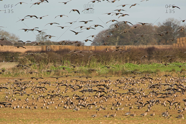 Flock of pink footed geese flying and feeding in a field