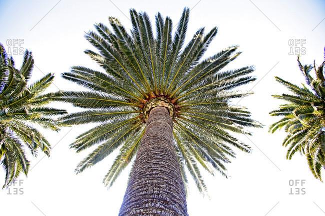 Low angle view of Italian palm tree