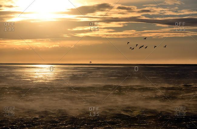 Seabirds in winter in Iceland