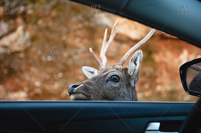 Buck poking head into car window