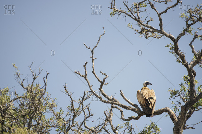 White backed vulture perched in tree