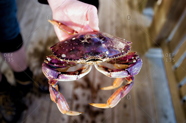 Close up of person holding a purple shore crab