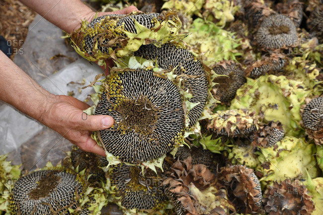 Hands picking up sunflower heads