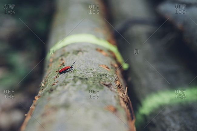 Cardinal beetle Pyrochroa Coccinea on log