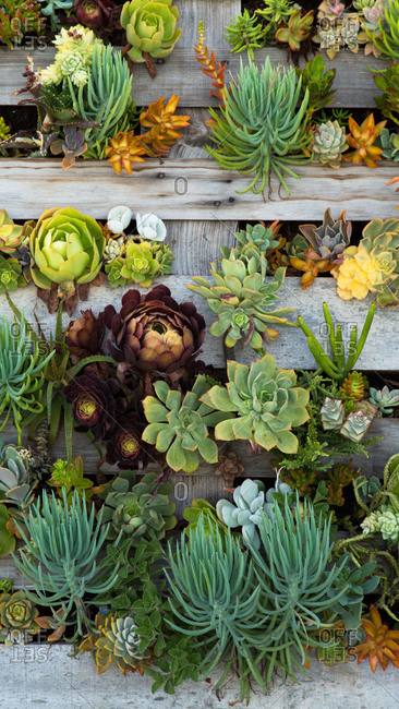 Succulents growing in a wooden pallet