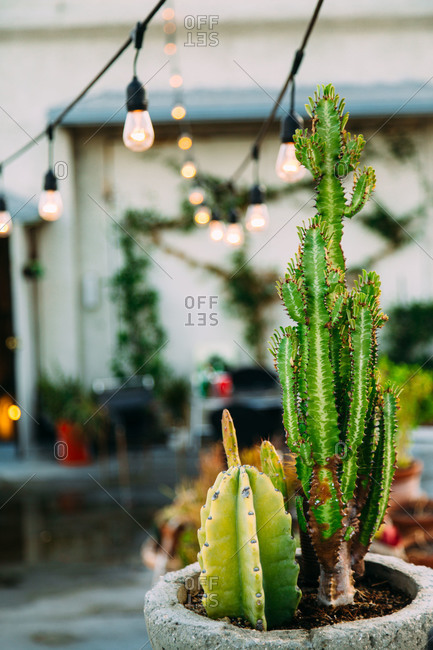 Cacti growing on a rooftop garden