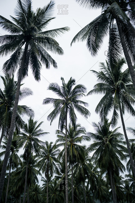 A grove of palm trees