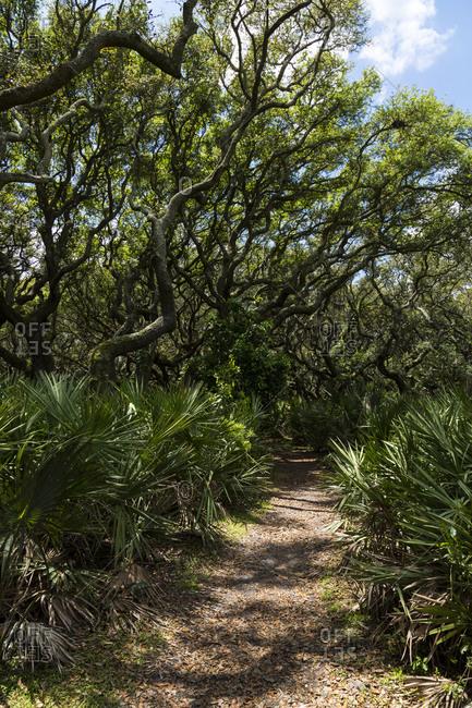 Live oak trees over a path in Cumberland Island Georgia