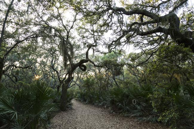 Large live oak trees over a path, Cumberland Island, Georgia