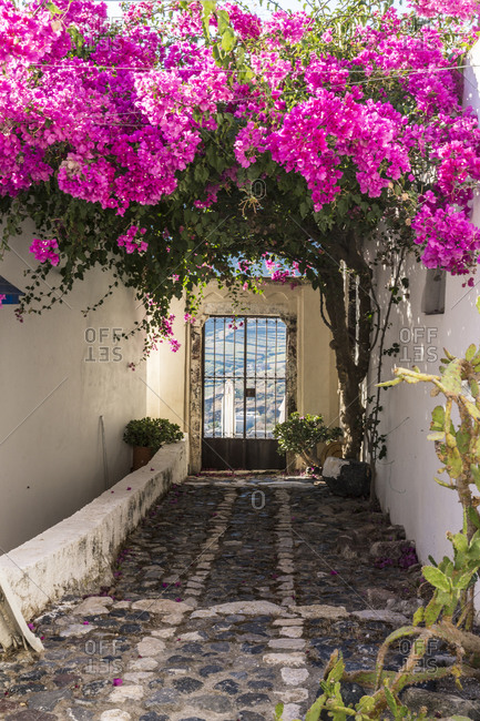 Alleyway with gate covered by pink flowers, Santorin, Greece