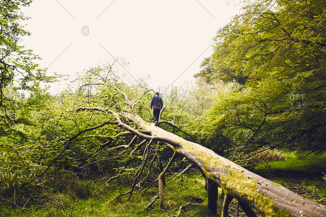 Man walking up a fallen tree