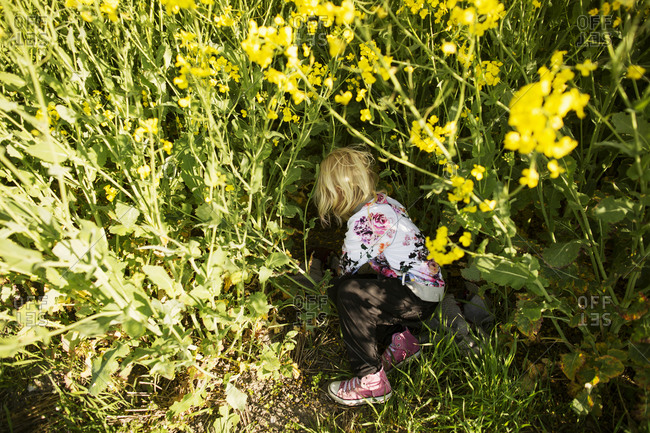 Little girl laying blanket down in a field of yellow flowers