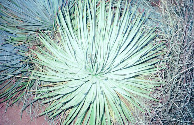 Overview of a plant in arid habitat