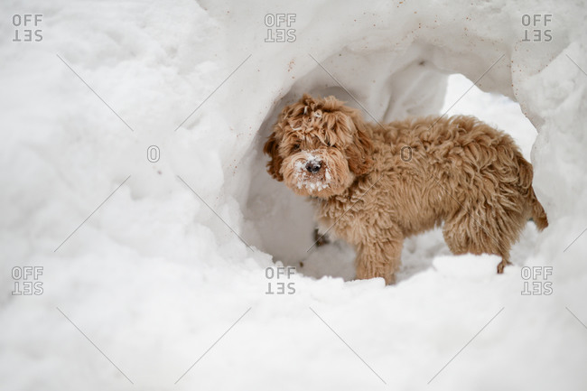 Fluffy dog exploring snow tunnel