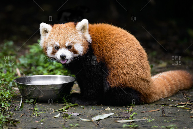 Red panda eating from a metal bowl