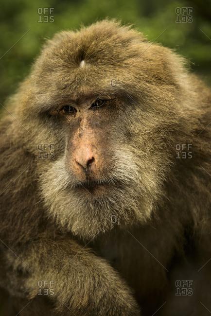Close up of an elderly Tibetan macaque