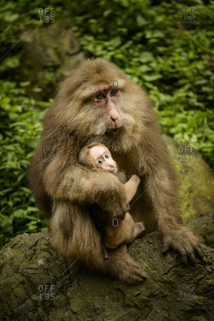 Tibetan macaque mother and offspring