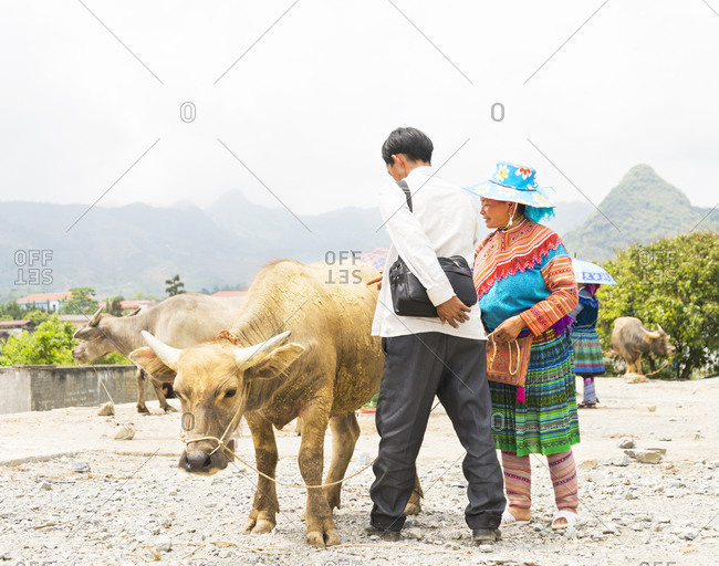 Bac Ha, Vietnam - May 9, 2015: Shopper considering a water buffalo being sold by a Tribeswoman at Bac Ha Market
