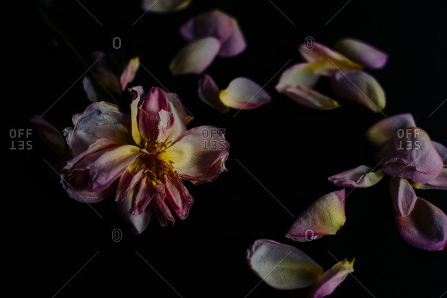 Close up of a dried flower and petals
