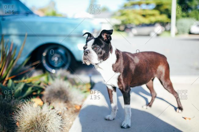 Dog alert in a driveway