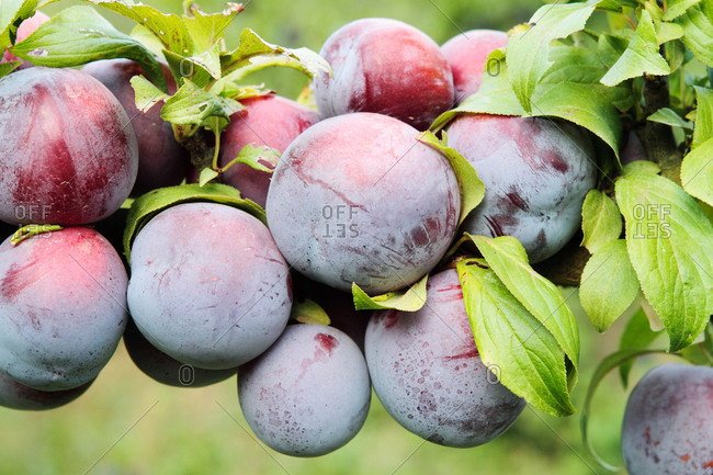 Plums growing on a tree